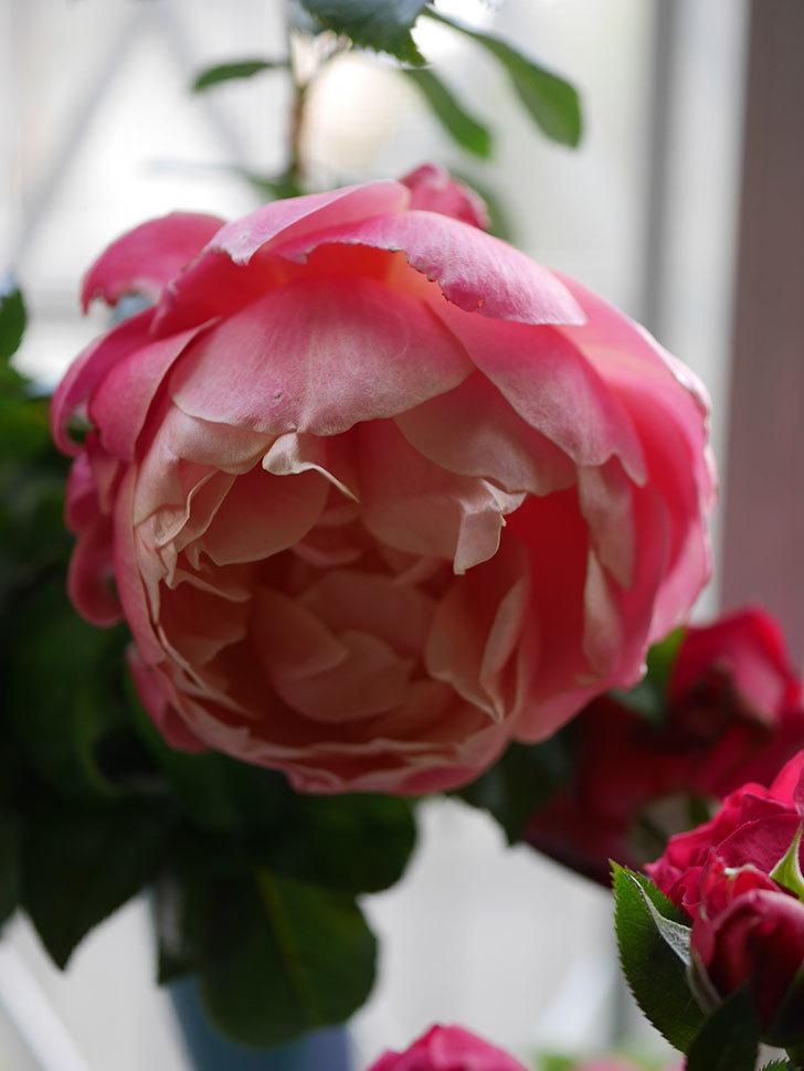 ピンク・ビンテージ(Pink Vintage)の新苗に秋花が咲いた。木立バラ。2020年-010.jpg