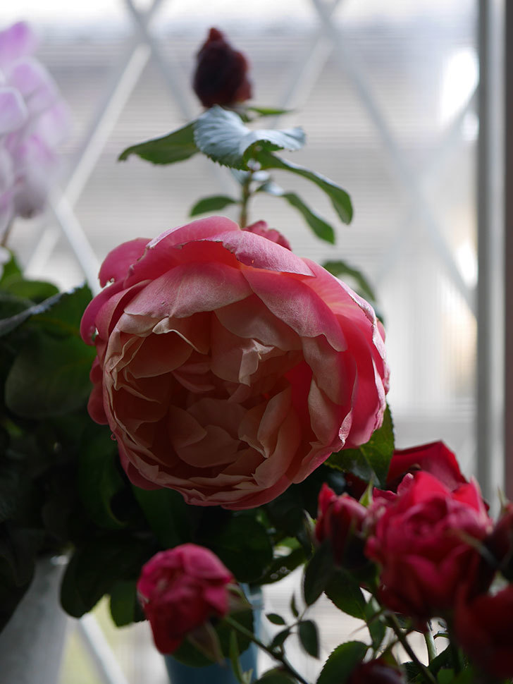 ピンク・ビンテージ(Pink Vintage)の新苗に秋花が咲いた。木立バラ。2020年-012.jpg
