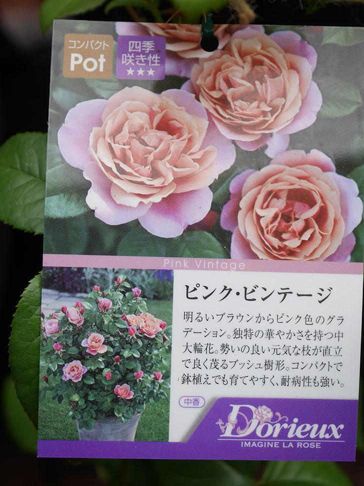 ピンク・ビンテージ(Pink Vintage)の新苗をはなはなショップで買った。木立バラ。2020年-004.jpg