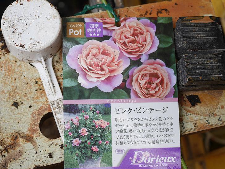 ピンク・ビンテージ(Pink Vintage)の新苗をを6号ロングスリット鉢に植え換えた。2020年-002.jpg