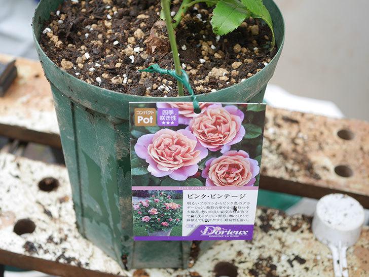 ピンク・ビンテージ(Pink Vintage)の新苗をを6号ロングスリット鉢に植え換えた。2020年-008.jpg