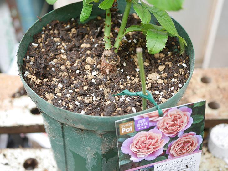 ピンク・ビンテージ(Pink Vintage)の新苗をを6号ロングスリット鉢に植え換えた。2020年-009.jpg