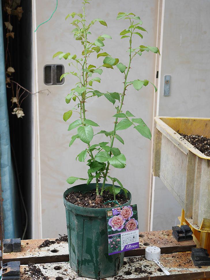 ピンク・ビンテージ(Pink Vintage)の新苗をを6号ロングスリット鉢に植え換えた。2020年-011.jpg