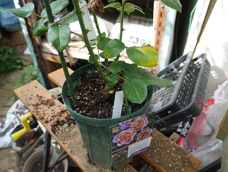 ピンク・ビンテージ(Pink Vintage)の新苗をを8号ロングスリット鉢に植え換えた。2020年-001.jpg