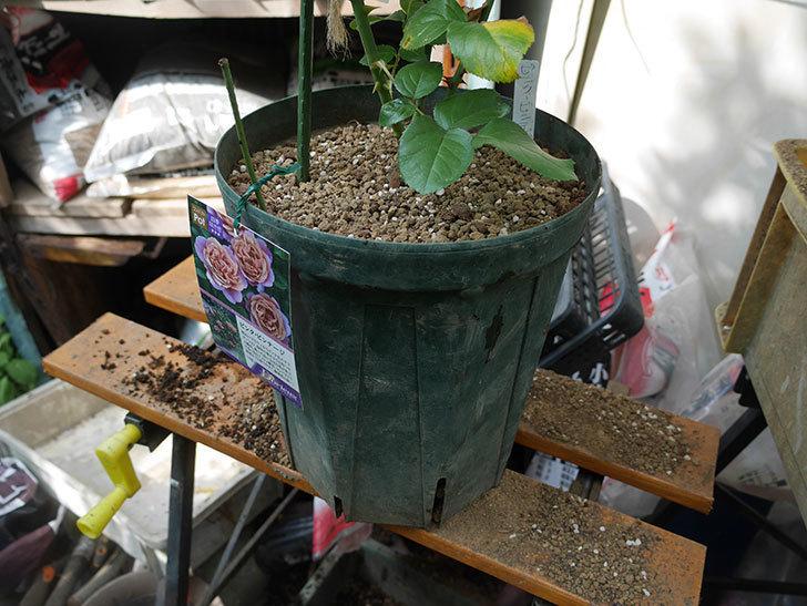 ピンク・ビンテージ(Pink Vintage)の新苗をを8号ロングスリット鉢に植え換えた。2020年-007.jpg