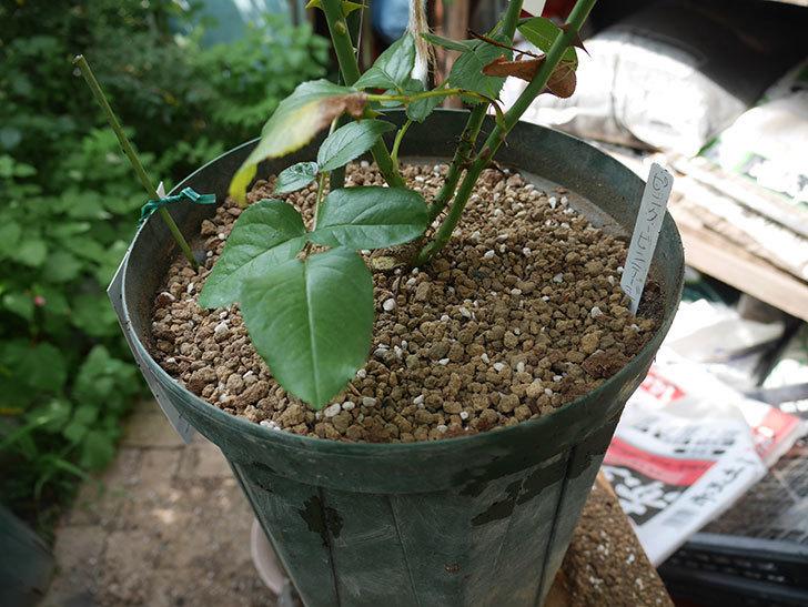 ピンク・ビンテージ(Pink Vintage)の新苗をを8号ロングスリット鉢に植え換えた。2020年-008.jpg