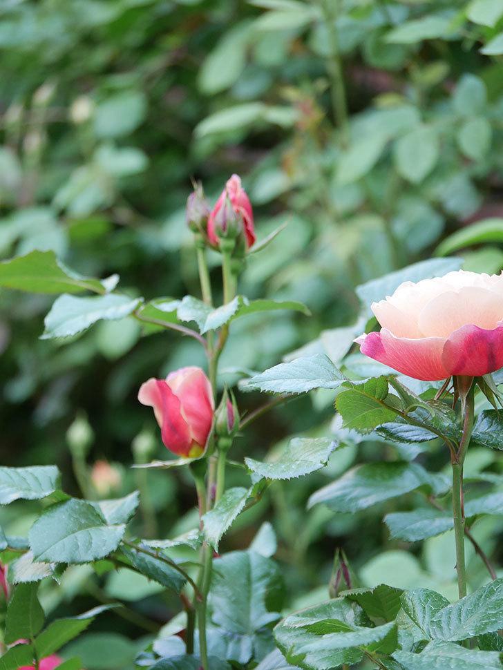 ピンク・ビンテージ(Pink Vintage)の花が咲いた。木立バラ。2021年-003.jpg