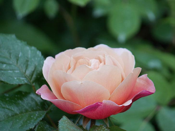 ピンク・ビンテージ(Pink Vintage)の花が咲いた。木立バラ。2021年-006.jpg