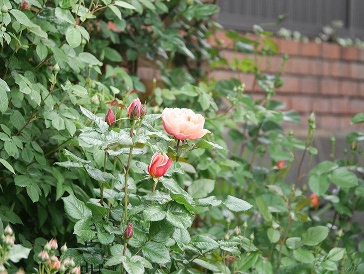 ピンク・ビンテージ(Pink Vintage)の花が咲いた。木立バラ。2021年-010.jpg