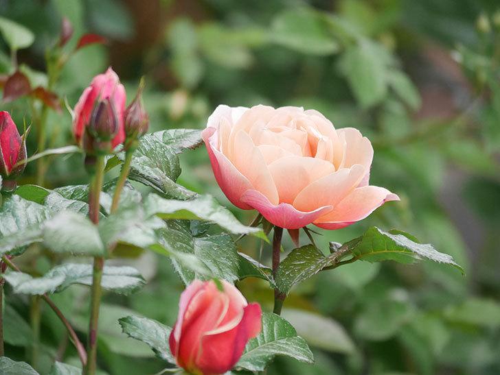 ピンク・ビンテージ(Pink Vintage)の花が咲いた。木立バラ。2021年-011.jpg