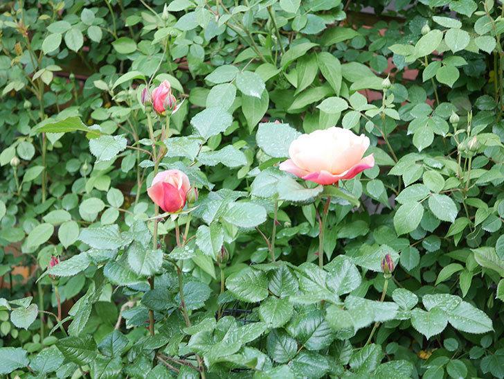 ピンク・ビンテージ(Pink Vintage)の花が咲いた。木立バラ。2021年-015.jpg