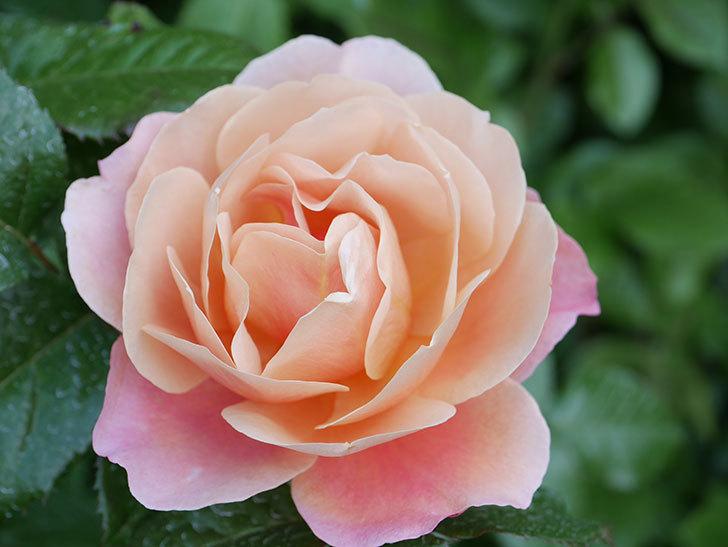 ピンク・ビンテージ(Pink Vintage)の花が咲いた。木立バラ。2021年-017.jpg