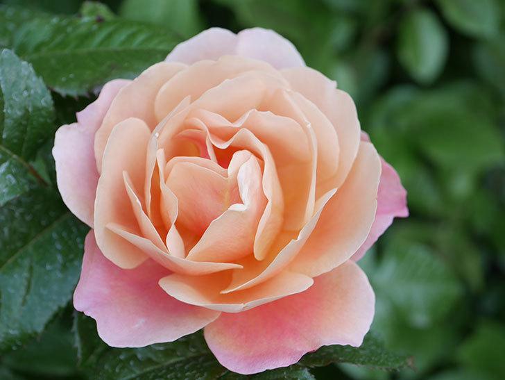 ピンク・ビンテージ(Pink Vintage)の花が咲いた。木立バラ。2021年-018.jpg