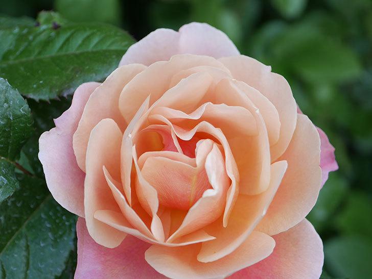 ピンク・ビンテージ(Pink Vintage)の花が咲いた。木立バラ。2021年-019.jpg