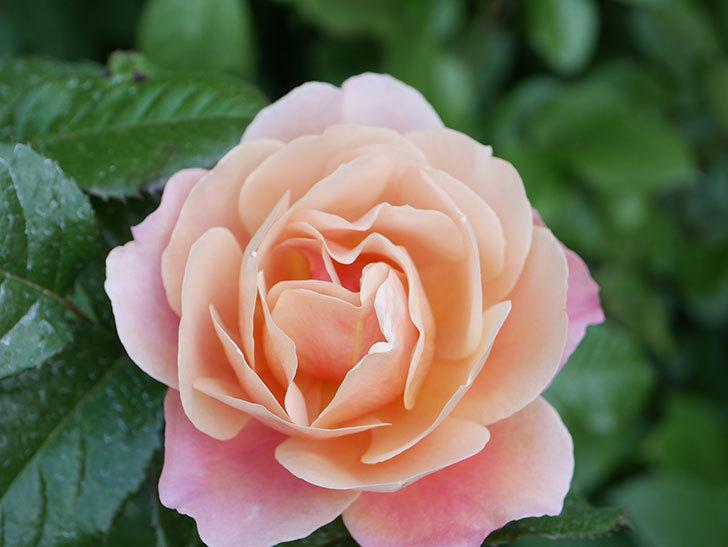 ピンク・ビンテージ(Pink Vintage)の花が咲いた。木立バラ。2021年-020.jpg