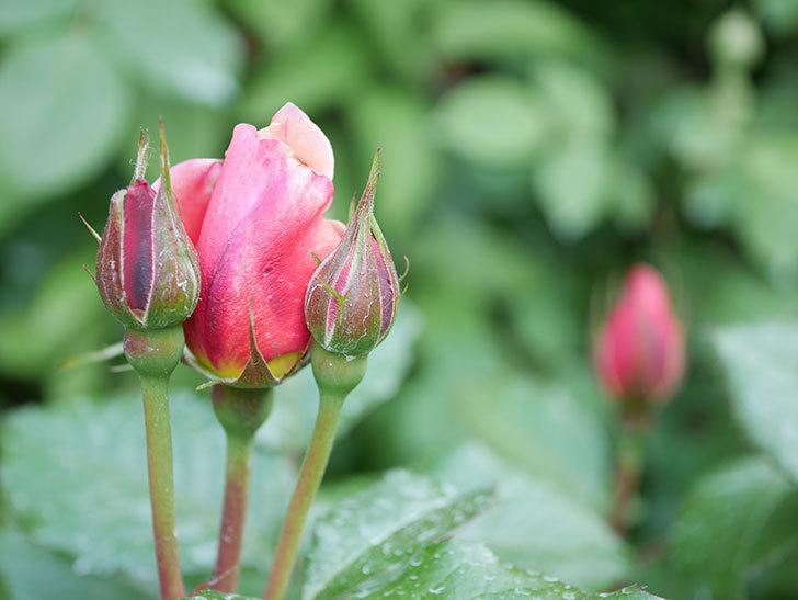 ピンク・ビンテージ(Pink Vintage)の花が咲いた。木立バラ。2021年-025.jpg