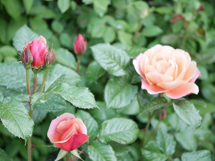 ピンク・ビンテージ(Pink Vintage)の花が咲いた。木立バラ。2021年-026.jpg