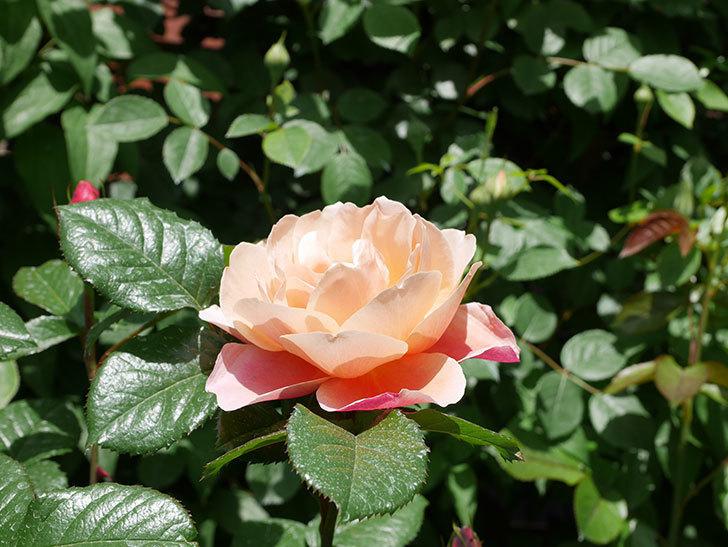 ピンク・ビンテージ(Pink Vintage)の花が咲いた。木立バラ。2021年-028.jpg