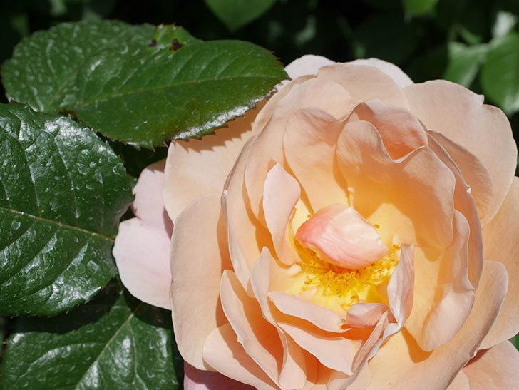 ピンク・ビンテージ(Pink Vintage)の花が咲いた。木立バラ。2021年-029.jpg