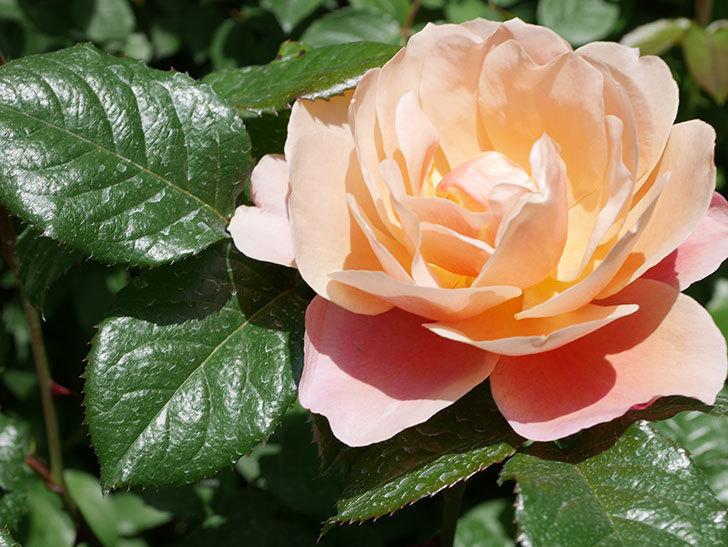 ピンク・ビンテージ(Pink Vintage)の花が咲いた。木立バラ。2021年-031.jpg