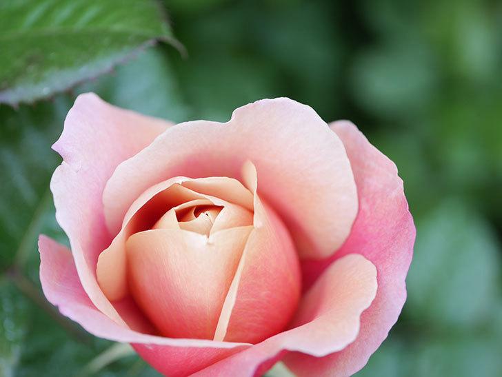 ピンク・ビンテージ(Pink Vintage)の花が咲きだした。木立バラ。2021年-006.jpg