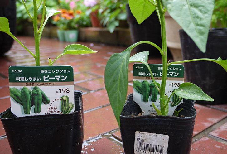ピーマンの苗をカインズで買ってきた2.jpg