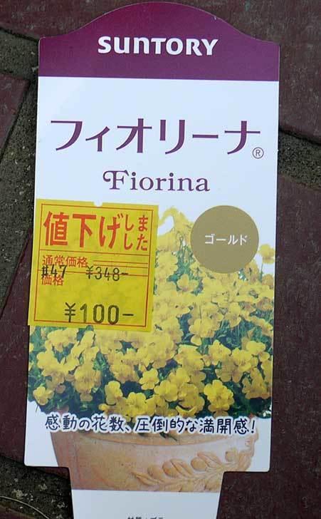 フィオリーナ-ゴールド(ビオラ)がホームズで100円だったので6個買って来た3.jpg