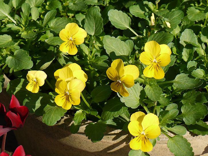 フィオリーナ-ゴールド(ビオラ)が咲いた。2015年-1.jpg
