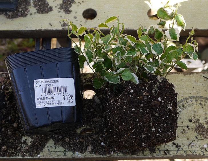 フィカス・プミラを鉢に植えた。2016年-1.jpg