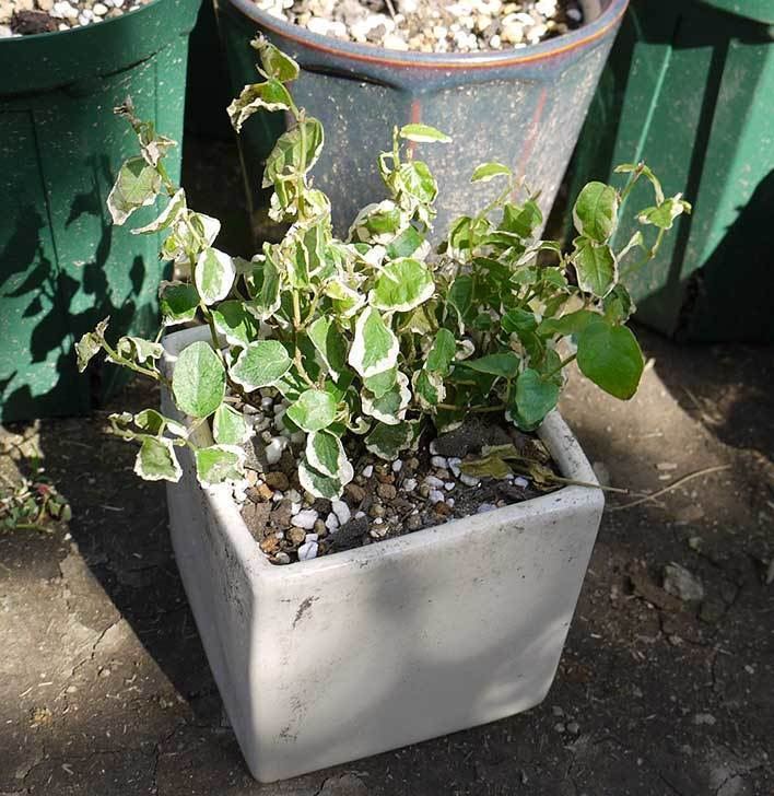 フィカス・プミラを鉢に植えた。2016年-3.jpg