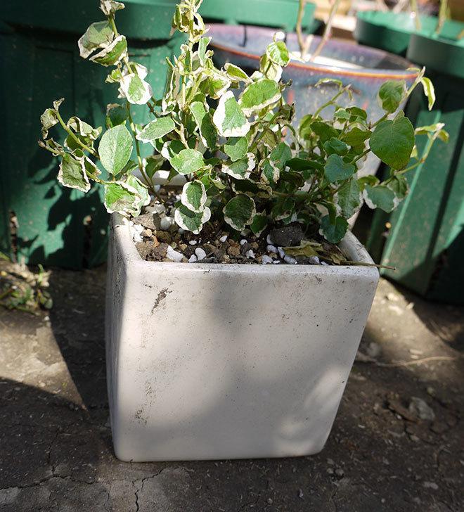 フィカス・プミラを鉢に植えた。2016年-4.jpg