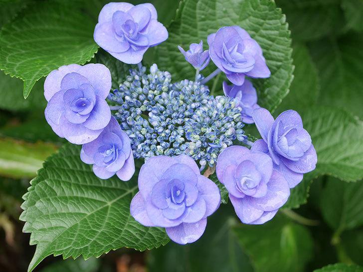 フェアリーアイ(アジサイ)の花が咲いた。2021年-003.jpg
