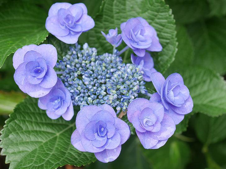 フェアリーアイ(アジサイ)の花が咲いた。2021年-004.jpg