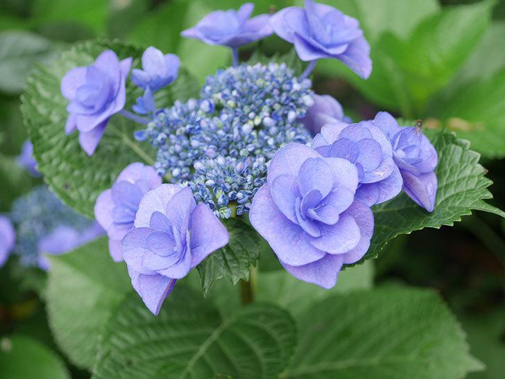 フェアリーアイ(アジサイ)の花が咲いた。2021年-006.jpg