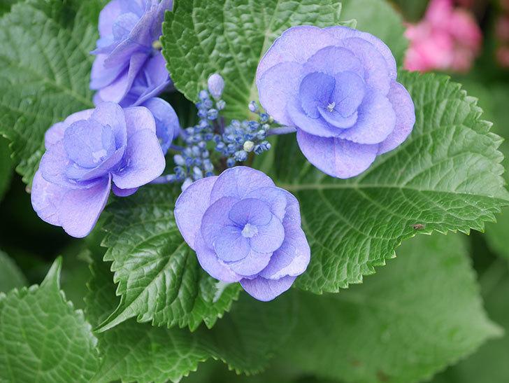 フェアリーアイ(アジサイ)の花が咲いた。2021年-008.jpg