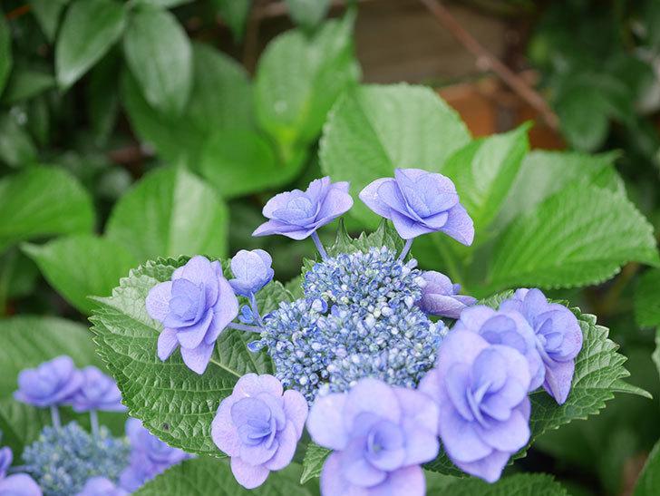フェアリーアイ(アジサイ)の花が咲いた。2021年-012.jpg