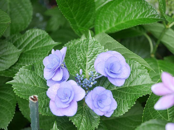 フェアリーアイ(アジサイ)の花が咲いた。2021年-013.jpg