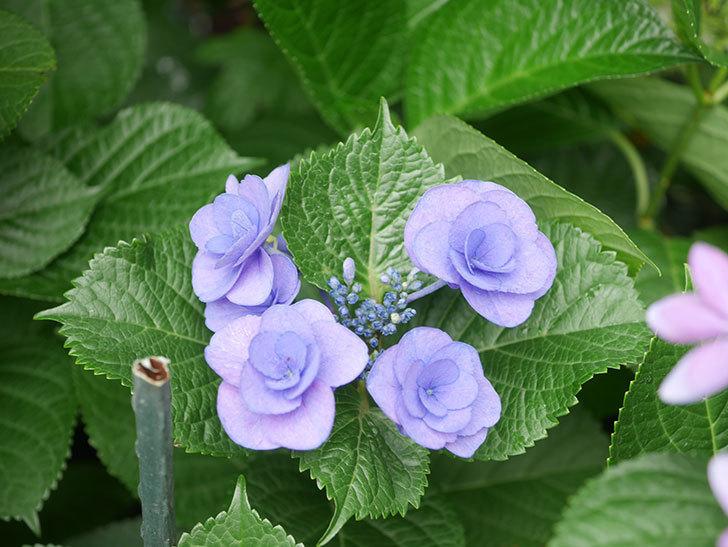フェアリーアイ(アジサイ)の花が咲いた。2021年-014.jpg