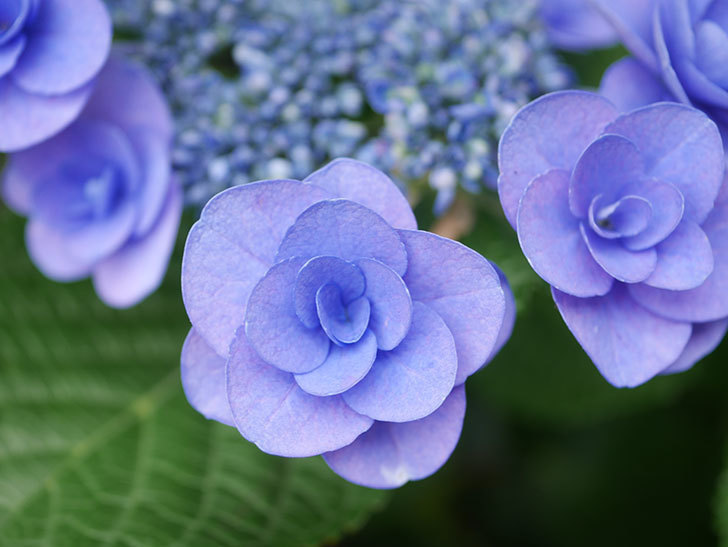 フェアリーアイ(アジサイ)の花が咲いた。2021年-017.jpg