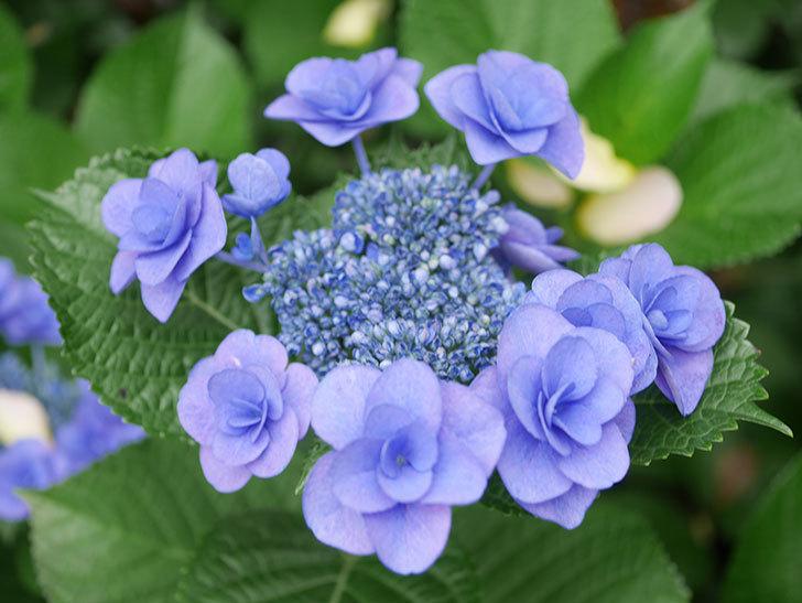 フェアリーアイ(アジサイ)の花が咲いた。2021年-021.jpg