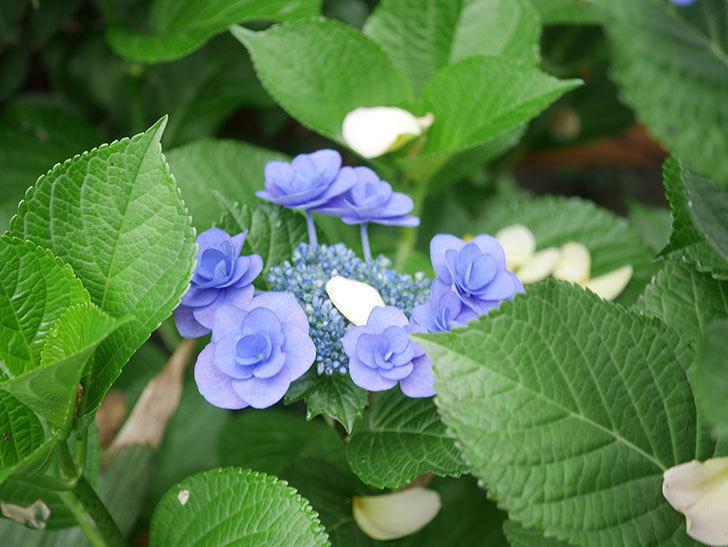 フェアリーアイ(アジサイ)の花が咲いた。2021年-022.jpg