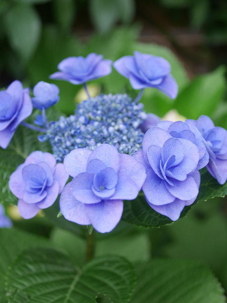 フェアリーアイ(アジサイ)の花が咲いた。2021年-023.jpg