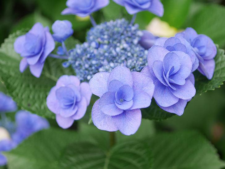 フェアリーアイ(アジサイ)の花が咲いた。2021年-024.jpg