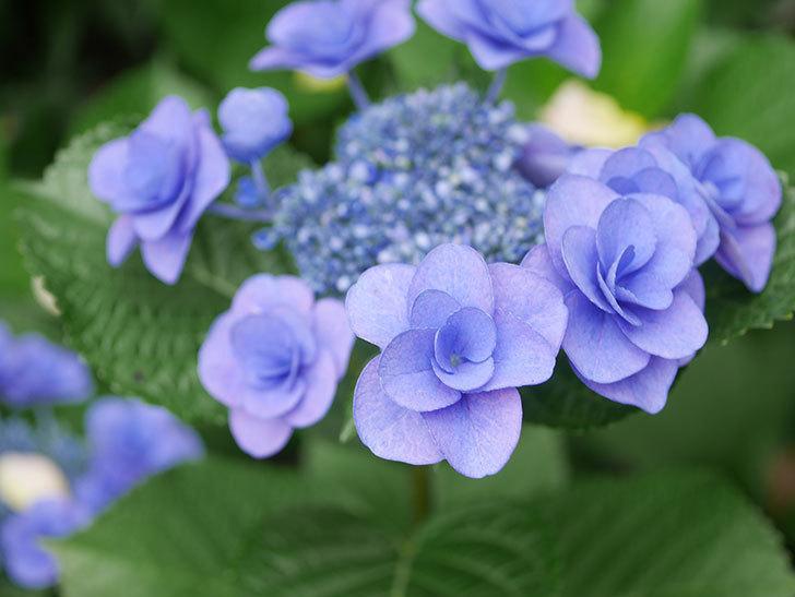 フェアリーアイ(アジサイ)の花が咲いた。2021年-025.jpg