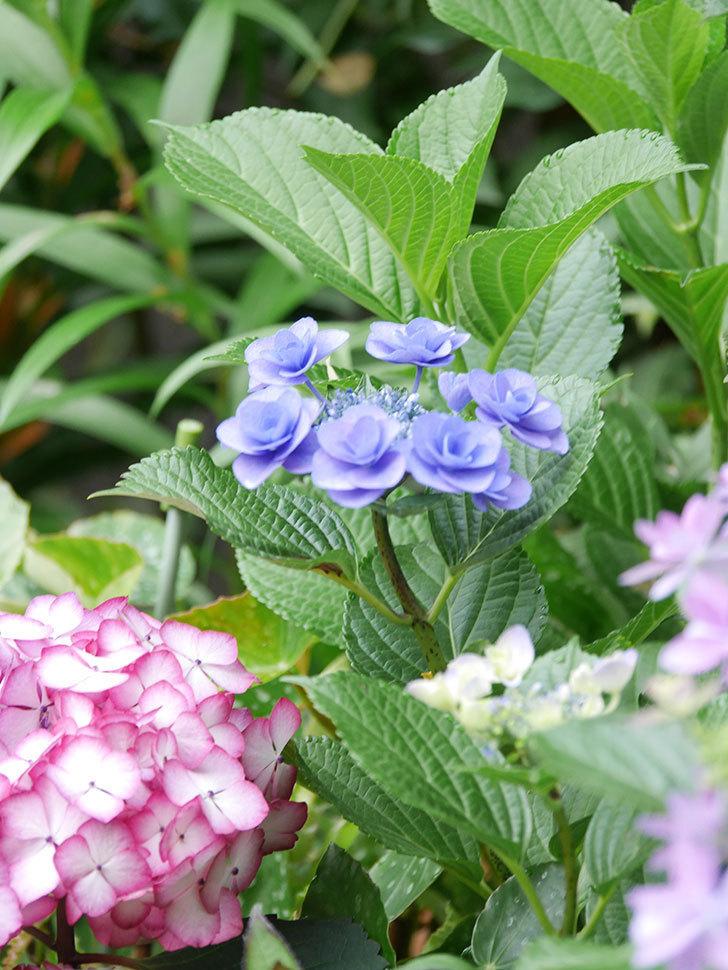 フェアリーアイ(アジサイ)の花が咲いた。2021年-031.jpg