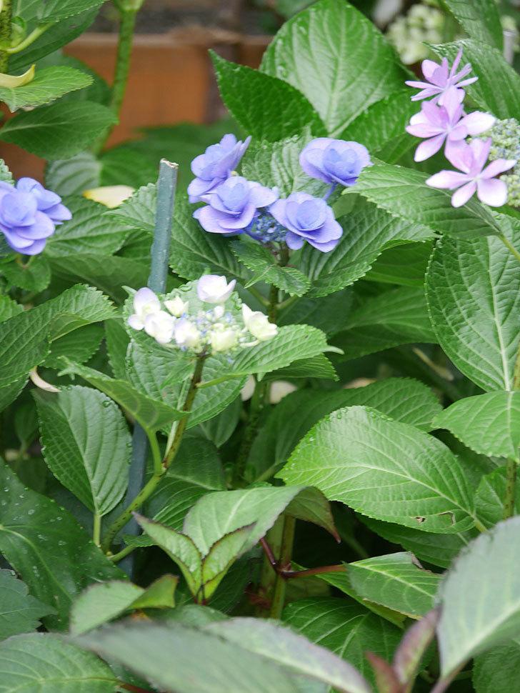 フェアリーアイ(アジサイ)の花が咲いた。2021年-034.jpg