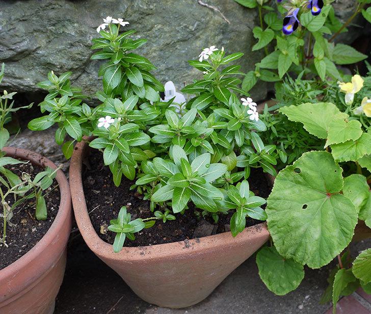 フェアリースター-ホワイト(ニチニチソウ)を鉢に植えた1.jpg