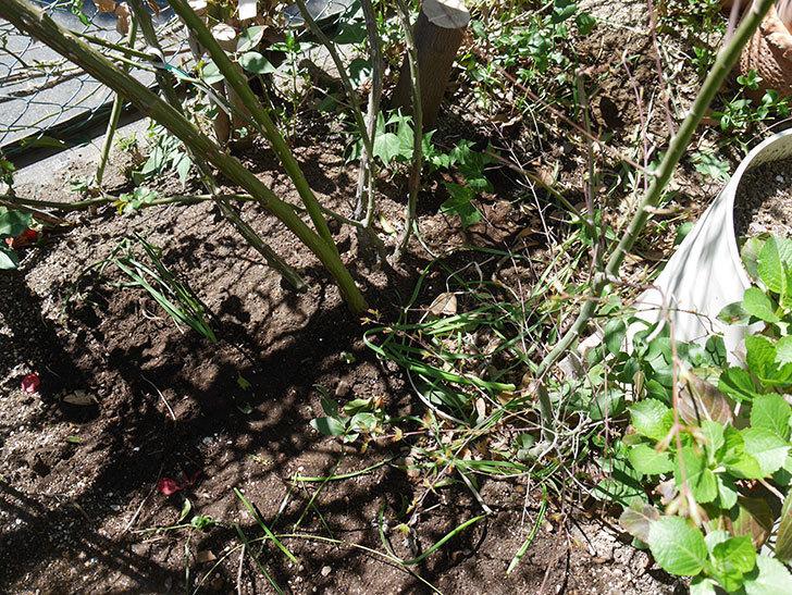フェンスのピエール・ドゥ・ロンサール(ツルバラ)に寒肥を施した。2019年-5.jpg