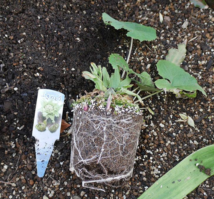 フキノトウを地植えした。2019年-2.jpg