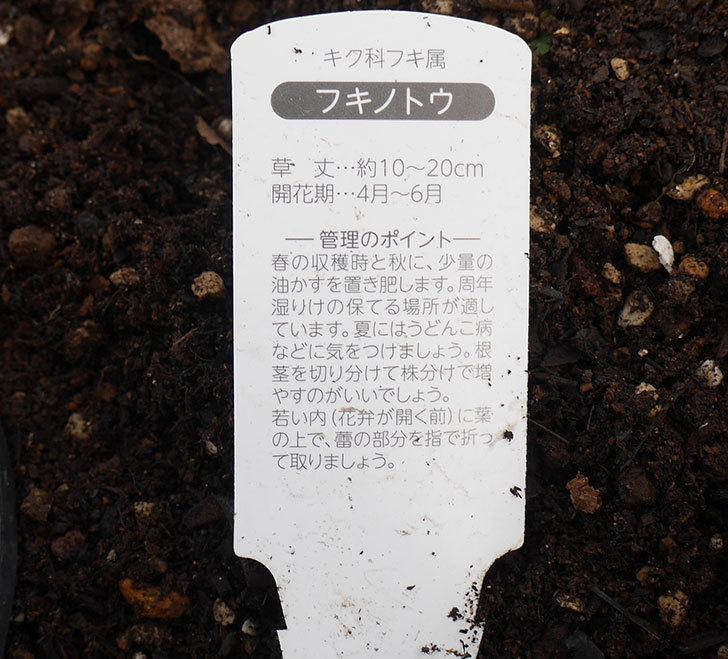 フキノトウを地植えした。2019年-4.jpg
